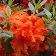 Rhododendron Gibraltar, Azalee, Hochstamm, sommergrün
