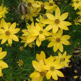 Mädchenauge Zagreb, Blütenpflanze