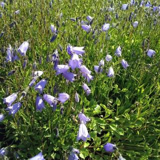 Zwerg Glockenblume Blue Baby, Blaue Blüten