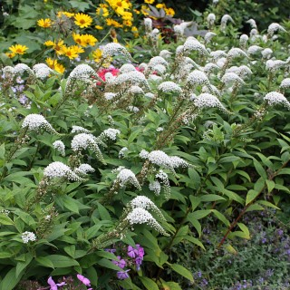Felberich, Lysimachia, Beetstaude, Blütenpflanze