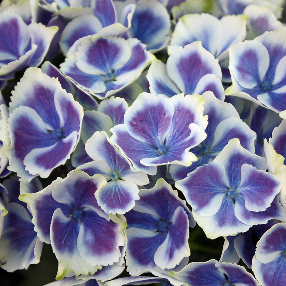 hortensie tivoli blue besondere bauernhortensie mit zweifarbiger bl te native plants. Black Bedroom Furniture Sets. Home Design Ideas