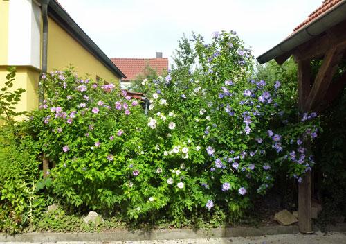 Bunte Blütenhecke mit Hibiskus