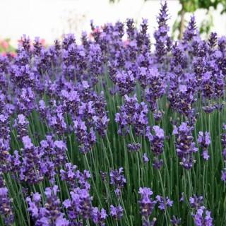 Lavendel Munstead, Lavandula, Bienenweide