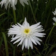 Margerite Wirral Supreme, Leuchanthemum, Blütenstaude