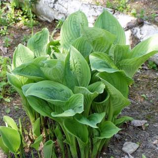 Grüne Riesenfunkie, Funkie, Hosta, Schattenpflanze