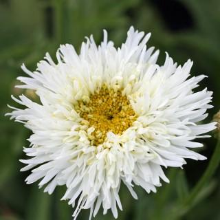 Margarite Engelina, Leuchntheum, Blütenstaude