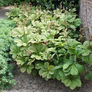 Kastanienblättriges Schaublatt, Rodgersia, Schattenpflanze