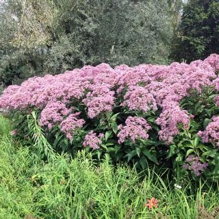 Wasserdost Atropurpureum, Heilpflanze, Bienenweide
