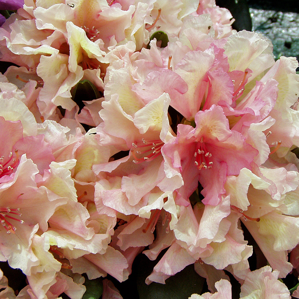 rhododendron 39 norfolk candy 39 rhododendron hybride. Black Bedroom Furniture Sets. Home Design Ideas