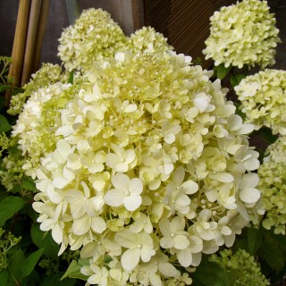 rispenhortensie 39 limelight 39 als st mmchen hydrangea paniculata 39 limelight 39 hortensie als. Black Bedroom Furniture Sets. Home Design Ideas