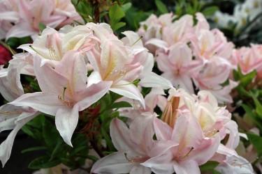 Sommergrüne Rhododendren
