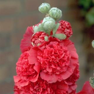 Stockrose 'Rot'