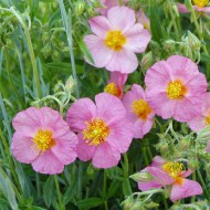 Sonnenröschen Lawrensons Pink, Helenium,