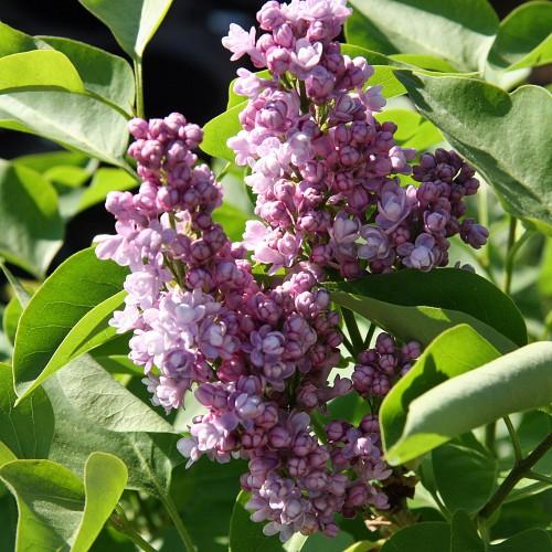 5 Duftgehölze für Ihren Garten