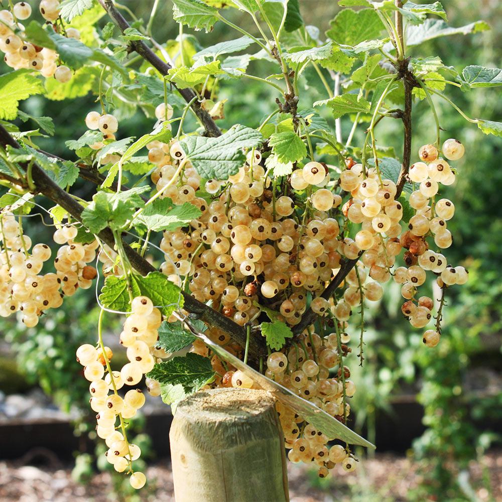 Fabelhaft Pflanz- und Pflegetipps für Johannisbeeren | Native Plants @WK_57