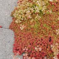 Mauerpfeffer Coral Carpet, Sedum, Steingarten