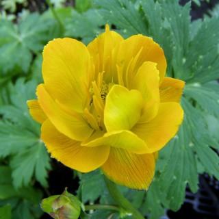 Tollblume Golden Queen, Wasserpflanzen, Uferrand