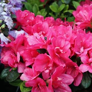 Rhododendron Canzonetta, Azalee, Blütenstrauch