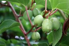 Kiwi als Gartenpflanze