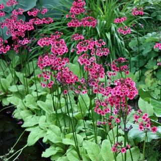 Etagen Primel Millers Crimson, Blütenstaude