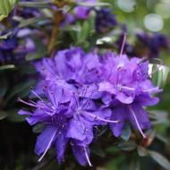 Rhododendron Azurika, Azalee, Frühjahrsblüher