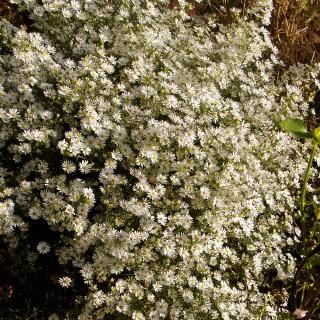 Myrtenaster, Aster, Herbstblüher