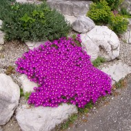 Mittagblume, Mittagsblümchen, Bodendecker, Steingarten