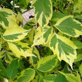 Goldbunter Eschenahorn, Ahorn, Acer, Blattschmuck