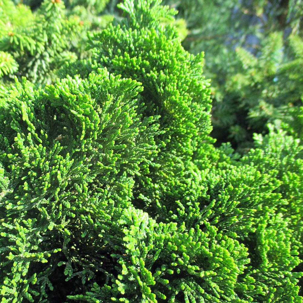 Berühmt Kleine Muschelzypresse - Chamaecyparis obtusa Nana 'Gracilis &TH_94