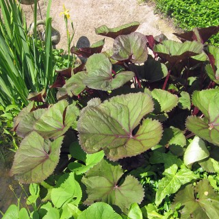Purpur Greiskraut, Blattschmuck, Uferpflanze