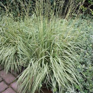 Pfeifengras Variegata, Molina, gestreiftes Gras