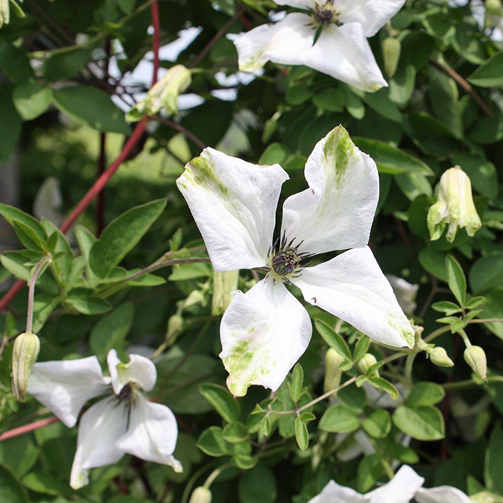 clematis viticella 39 alba luxurians 39 mit wei en bl ten und gr nen flecken native plants. Black Bedroom Furniture Sets. Home Design Ideas