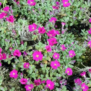 Aubrieta Gloriosa, Blaukissen, Teppichbildende Pflanze