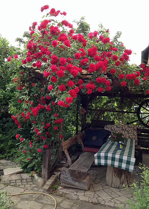 Kletterrose-Gartenlaube