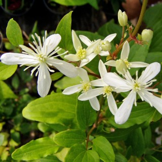 Clematis terniflora Syn. maximowicziana