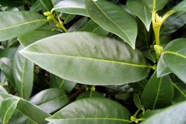Kirschlorbeer - Prunus