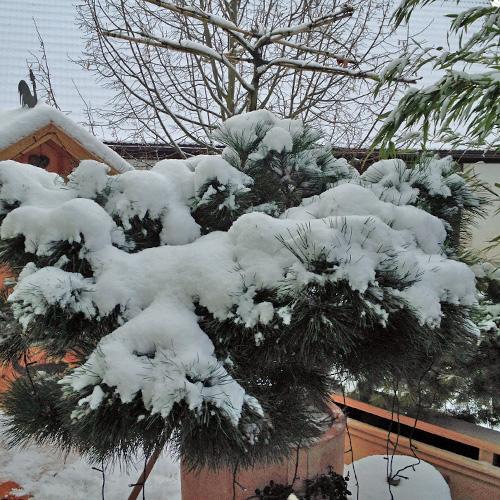 Kieefer-mit-Schnee