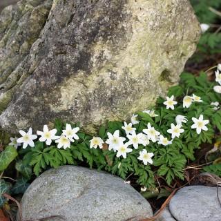 Busch Windröschen, Anemone, Frühling,
