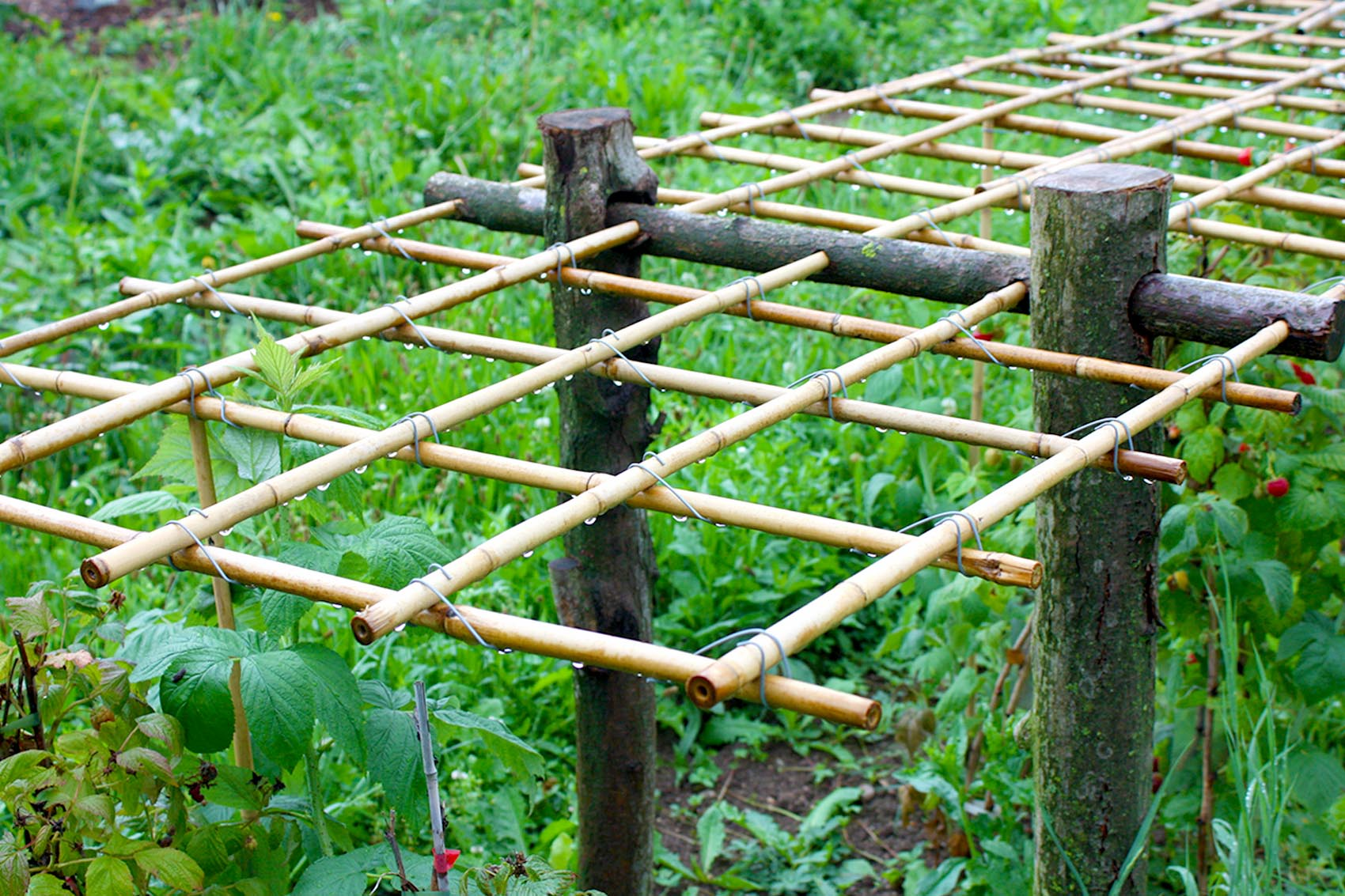 Geliebte Himbeeren im Garten oder auf dem Balkon | Native Plants #KK_38