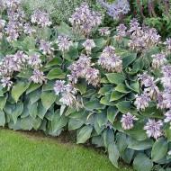 Funkie Halcyon, Hosta, Schattenpflanze,