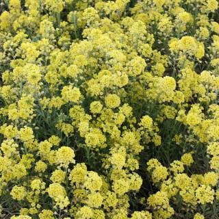 Steinkraut Berggold, Bodendecker, Steingarten, Frühjahrsblüher