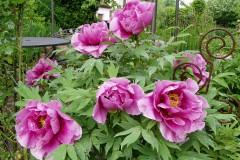 Tipps zur Pflanzung und Pflege von Pfingstrosen