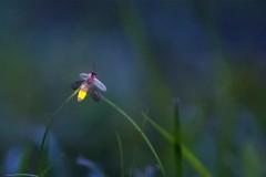 Das Glühwürmchen (Leuchtkäfer)