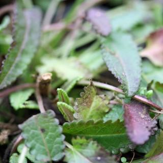 Heilziest, Stachys, Heilpflanze
