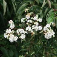 Sieben Söhne des Himmels Blume, Heptacodium