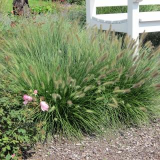 Lampenputzergras, Borstengras, Ziergras mit besonderen Blütenähren