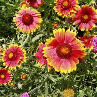 Kokardenblume Bremen, Beetstaude, Blütenpflanze