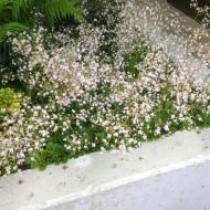Porzellanblümchen