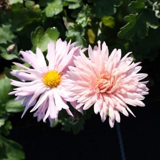 Winteraster, Chrysantheme, Herbstblüher