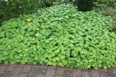 Gute Bodendecker für den Garten